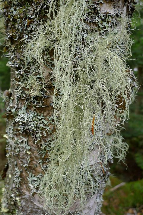 AMC-NH | Gallery & Guide to NH Lichens