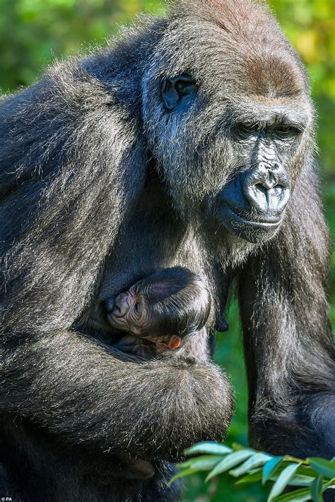 Baby gorilla pictured hours after birth at Bristol Zoo