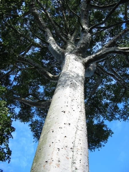 Buy Kauri Pine QLD - Agathis robusta South Queensland
