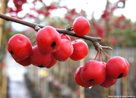 Photo Gallery: malus 1   About-garden